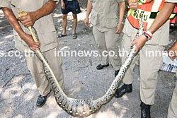 ตะลึง!งูเหลือมยาว3เมตร แอบกินไก่ในเล้า