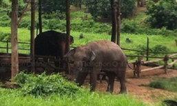 สยอง!ช้างตกมันทำร้ายควาญดับ โมโหเอาหอกแทง สะบัดโซ่หลุดดิ่งเสียบไส้ทะลัก