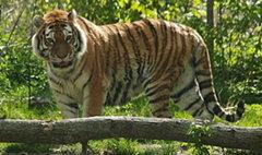 หนุ่มมะกันโดดเข้ากรงเสือ ถูกตะปบปางตาย