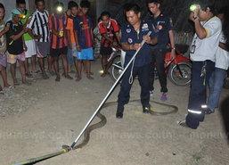 ชาวบ้านพบงูจงอางในบ้านยาวเกือบ4เมตร