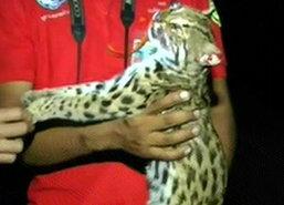 พบเสือถูกรถชนตายถนนสายลานสัก-บ้านไร่