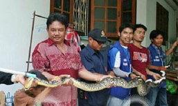 งูเหลืมเขมือบกระต่าย นับ 10 ตัว