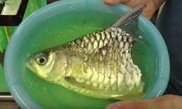 """ผู้เชี่ยวชาญปลาน้ำจืด ชี้ """"เจ้าบุญครึ่ง"""" มีชีวิตได้เพราะอวัยวะสำคัญยังอยู่"""