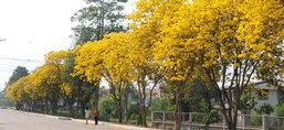 สุโขทัยดอกเหลืองอินเดียบานรับตรุษจีน
