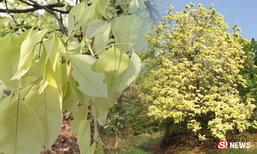 นครสวรรค์แปลกใจ ต้นคูนสีเผือก ยืนต้นออกใบสีอ่อน