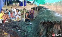 คนสุรินทร์เฮ แห่ส่องเลข ต้นตะเคียนยักษ์ เชื่ออายุ 1,300 ปี