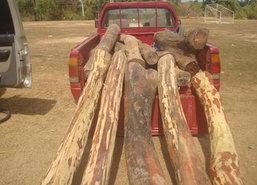 ทหาร,ตร.,ป่าไม้อุบลฯจับมือตรวจยึดไม้พะยูง