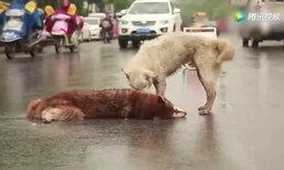 สุดซึ้ง! น้องหมาพยายามปลุกร่างไร้วิญญาณของเพื่อน หลังถูกรถชนตาย
