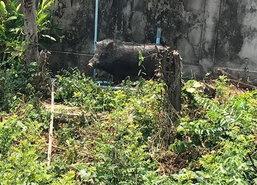 ปศุสัตว์อ่างทองจับหมูป่าไล่ทำร้ายชาวบ้านเจ็บ2