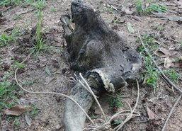 พบซากกระทิงป่าในป่าจันทบุรีคาดแผลติดเชื้อ
