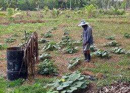 ชาวสวนสงขลาเฮฝนตกพืชผักให้ผลผลิต
