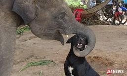 """แปลกแต่จริง """"ช้าง"""" เป็นเพื่อนกับ """"หมา"""" มิตรภาพ 2 สายพันธุ์"""