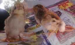ชาวบ้านฮือฮา! ลูกไก่พันธุ์แปลก เกิดมาพร้อมขา 4 ข้าง
