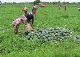 ชาวสวนแตงโมอ่างทองครวญฝนชุกผลผลิตเน่า