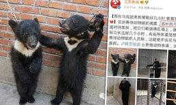 ภาพสะเทือนใจ คณะละครสัตว์จีน ฝึกซ้อมหมีดำอย่างทรมาน