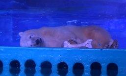 """จีนยอมปล่อย """"หมีขั้วโลกสุดเศร้า"""" หลังถูกโชว์ไว้ในห้าง"""