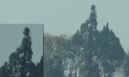 ต้นยางนาที่ระนอง ยอดบางมุม พุ่มคล้ายพระพุทธรูป
