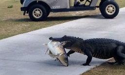 ใครจะกล้าขวาง! แอลลิเกแตอร์ล่าปลาคาบเดินข้ามถนนในสนามกอล์ฟ