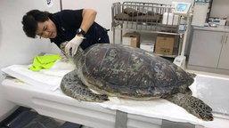 เต่าออมสิน ตายแล้ว ทีมสัตวแพทย์แถลงข่าวทั้งน้ำตา