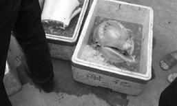 สลด! พบโลมาขาวจีนหายากถูกฆ่าชำแหละบนถนนในจีน