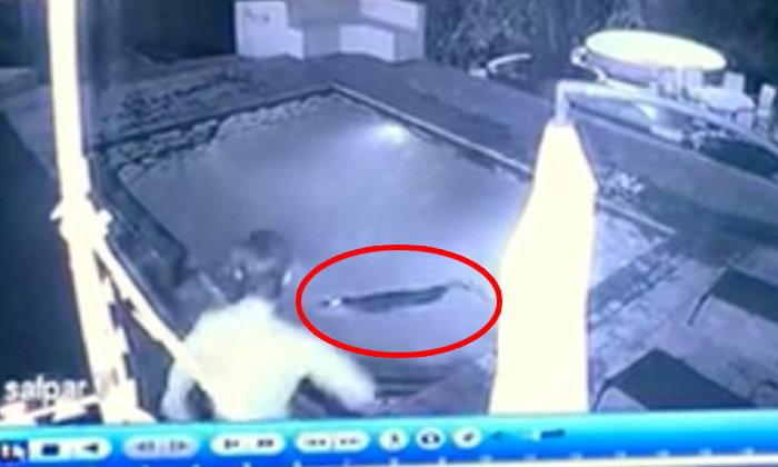 อนิจจัง..หนุ่มสาวว่ายน้ำสระในโรงแรม โดนจระเข้จู่โจม!