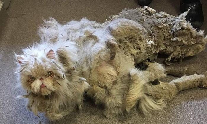 แมวน้อยพลิกชีวิต ได้เจ้าของใหม่หลังทนแบกขนหนักถึง 2.2 กก. มานาน