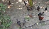 ลุงวัย68ชาวอ่างทองเลี้ยงไก่ชนสร้างรายได้