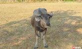 ชาวบ้านผวา ฝูงหมาดำปริศนา ไล่กัดกินเครื่องในลูกวัวควายกลางดึก