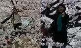 ญี่ปุ่นตีข่าวสะพรึง นักท่องเที่ยวจีนแห่ปีนต้นซากุระถ่ายรูป