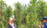 ชาวโคราชพลิกผืนดินปลูกพริกไทยเก็บขายได้ทั้งปี
