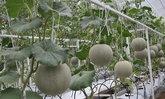 เกษตรฯพังงาส่งเสริมปลูกพืชทางเลือกใหม่