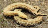 สมจริงสุดๆ งูแกล้งตายไม่ให้ตัวเองถูกกิน