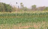เกษตรกรสุรินทร์รวมกลุ่มปลูกพืชใช้น้ำน้อยฤดูแล้ง
