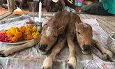ฮือฮา! ลูกวัว 2 หัว ให้โชคถูกหวยหลายงวด เจ้าของเก็บซากไว้บูชา