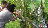 โรงเรียนแทบแตก! ฝันเห็นพญานาค ตื่นมาเจอต้นมะพร้าว 3 เศียร
