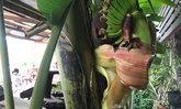 ฮือฮา! กล้วยออกเครือกลางต้น คล้ายพญานาคชูคอ