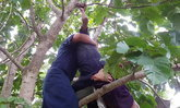 นาทีชีวิต! กู้ภัยปีนต้นกระท้อน ช่วยชีวิตพ่อเฒ่า เกือบผูกคอตาย
