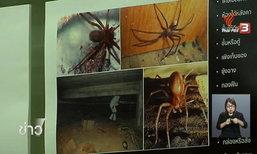 ค้นพบแมงมุมสันโดษ เมดิเตอร์เรเนียน พิษรุนแรง ครั้งแรกในไทย ที่ จ.กาญจนบุรี