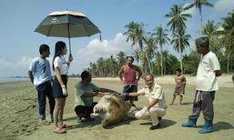 พบซากเต่าตนุอายุ100ปีเกยหาดชุมพร