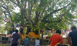 คนแห่กราบไหว้ต้นศรีมหาโพธิ์ปราจีนบุรี