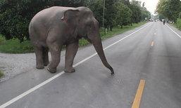 พลายสีดอแก้วเดินบนถนนจันทบุรี-ปิดทางกันคน