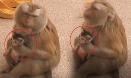 รักข้ามสายพันธุ์ลิงอุ้มแมวน้อยติดตัวตลอด เข้าใจผิดคิดว่าเป็นลูกตัวเอง