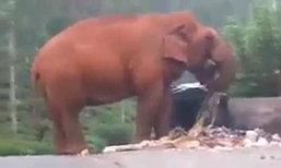 อินเดียแล้งหนัก ช้างคุ้ยขยะกินประทังชีวิต