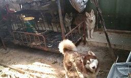 ส.พิทักษ์สัตว์ไทยเร่งช่วย3สุนัขไซบีเรียนถูกขัง