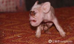 ฮือฮา! แม่หมูเมืองจีนออกลูกประหลาด หน้าตาเหมือนลิง