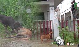 ระทึกทั้งหมู่บ้าน! พิตบูล 3 ตัว หลุดออกนอกรั้ว ขย้ำหมาไทยตาย