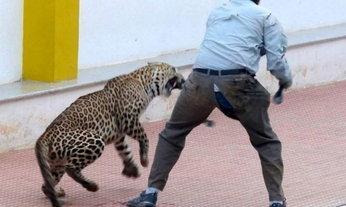 วุ่น! เสือดาวอินเดียหลุดเข้าโรงเรียนในเมืองบังกาลอร์ไล่ตะปบคนเจ็บ 6