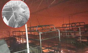 สลดไฟคลอกฟาร์มหมู  ตายเกลื่อนกว่า 2 พันตัว สูญร่วม 25 ล้านบาท