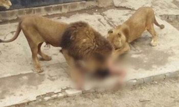 สวนสัตว์ตัดสินใจฆ่า 2 สิงโต เพื่อช่วยชายคลั่งโดดลงในกรง