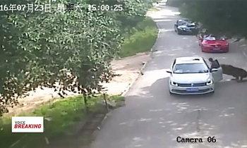 เสือในสวนสัตว์ที่จีน ขย้ำคนตาย 1 เจ็บ 1